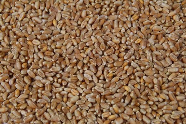 25kg Futterweizen, Weizen, Hühnerfutter, Geflügelfutter